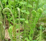 bg fiddleheadferns