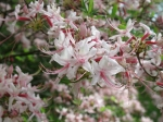 bg pinxterflower azalea