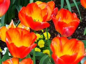 Rainbow Warrier Tulip