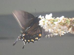 butterflywingflap