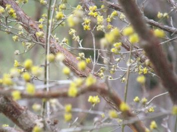 First Tree in Bloom A carolina dowwood